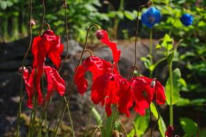 Meconopsis punicea -- my garden