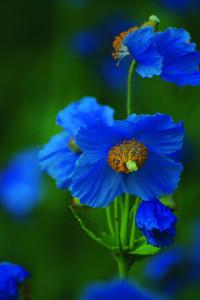Meconopsis baileyi -- my garden